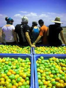 Fruit Picking, Bowen, Queensland, Australia 0066